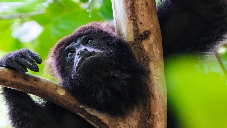 A black howler monkey climbing a tree